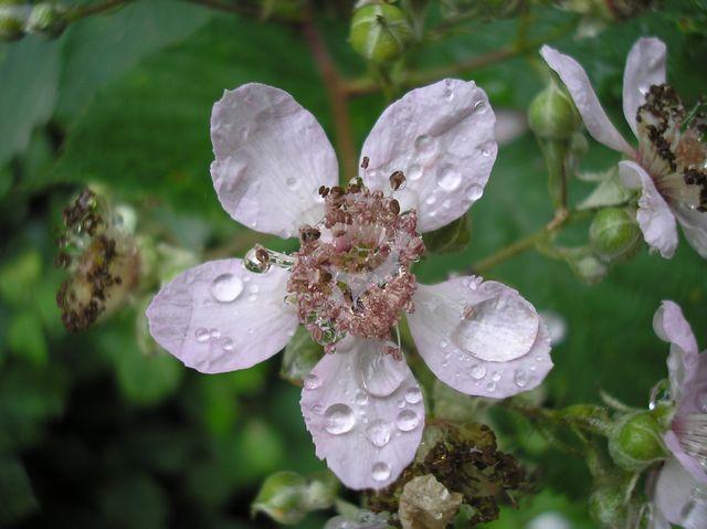 Фото цветка ежевики после дождя
