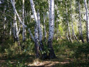 березы, танцующий лес